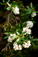 Tasmanian Snowberries