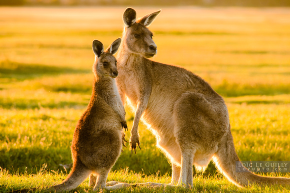Forester kangaroo and joey at sunset